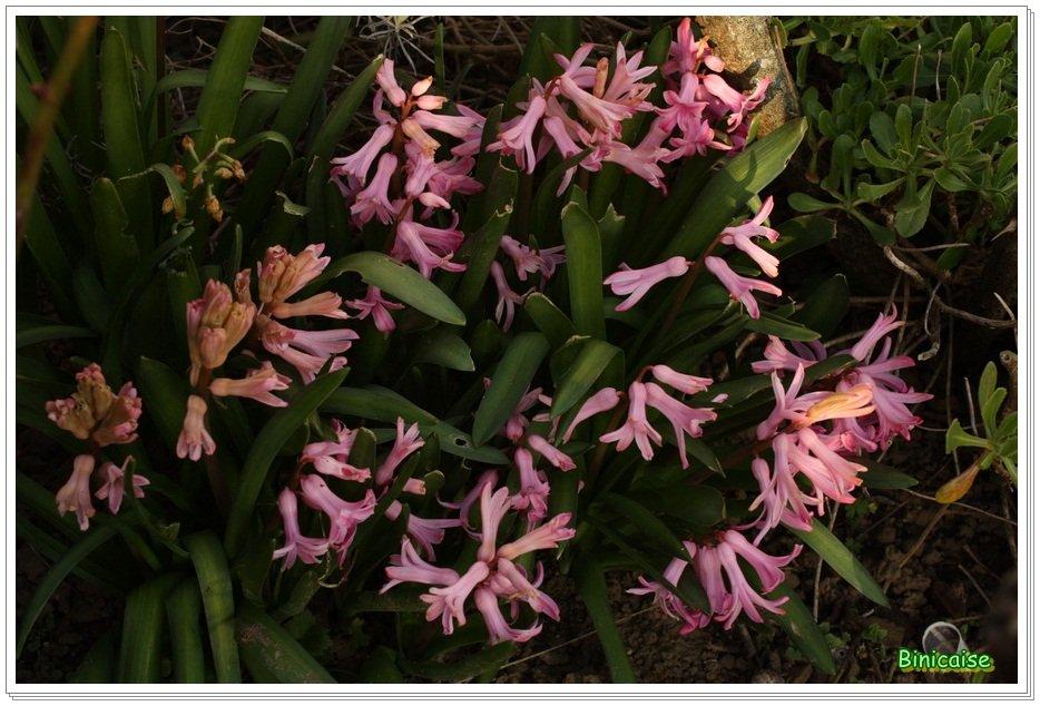 Jacinthes au jardin . dans Fleurs et plantes Jacinthes-01