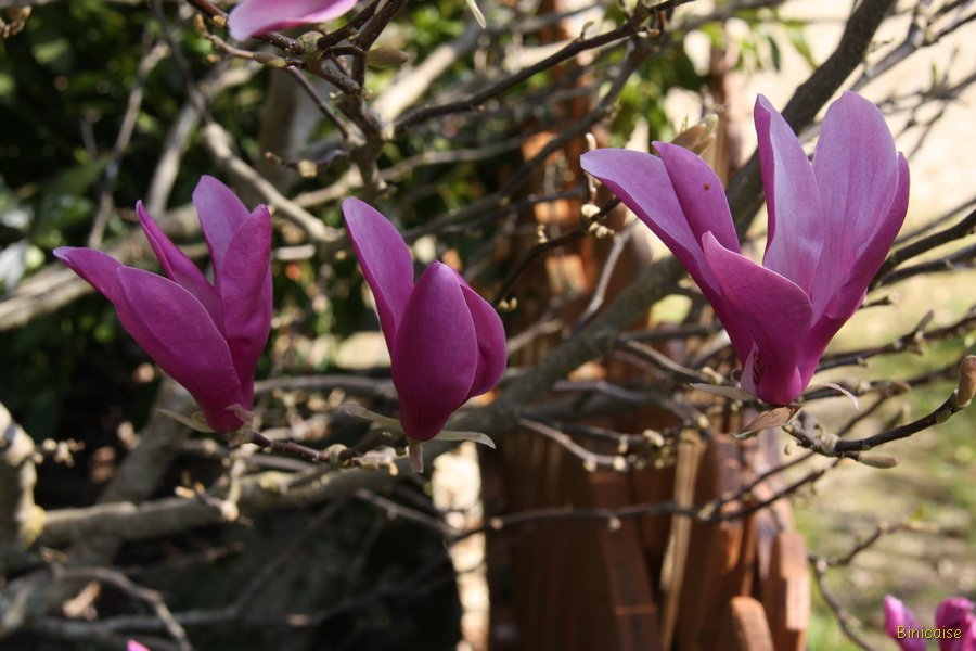 Magnolia-17 dans Photos
