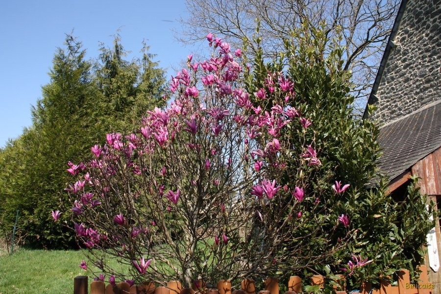 Le magnolia . dans Bretagne Magnolia-18