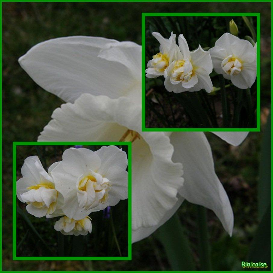 Narcisses et jonquilles dans Fleurs et plantes Narcisses-et-jonquilles-01