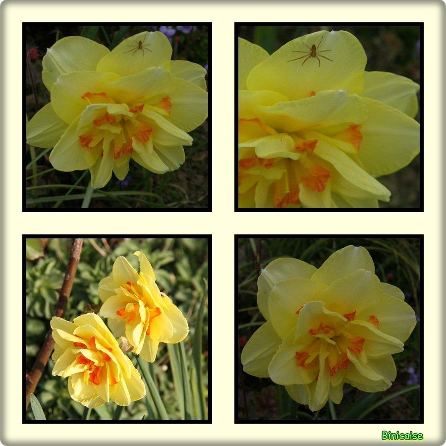 Narcisses. dans Fleurs et plantes Narcisses
