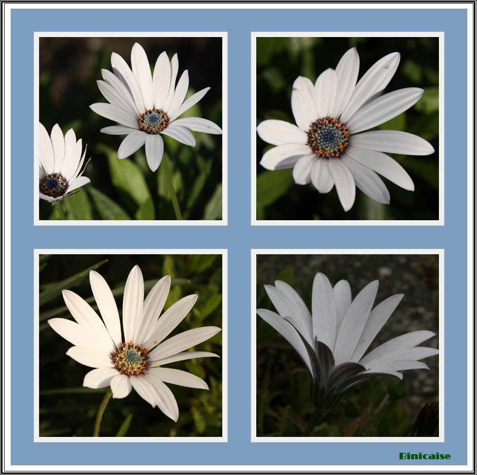 Osteopernums dans Fleurs et plantes Osteopernums
