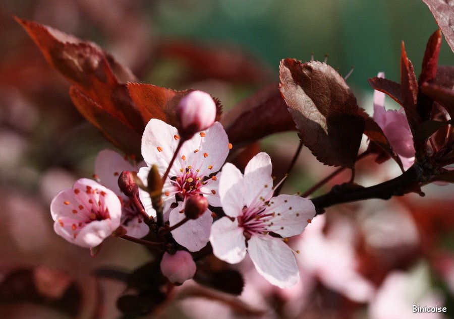 Prunus en fleurs . dans Jardin binicaise Prunus-02