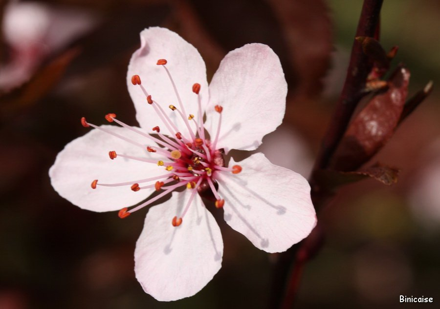 Prunus-03
