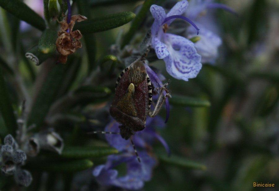 Les insectes et le romarin. dans Fleurs et plantes Punaise-01