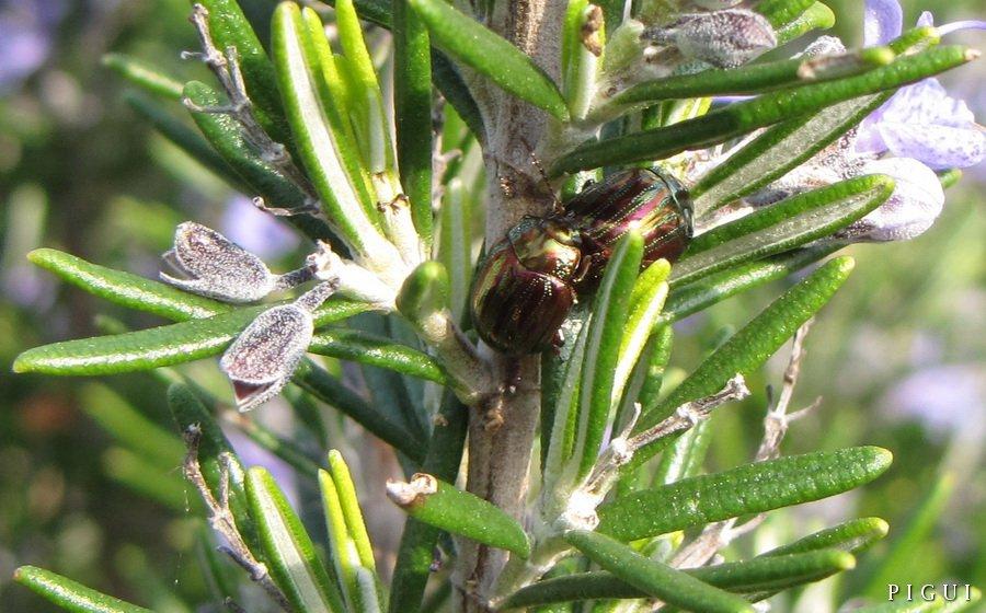 Punaises-02 punaise dans Jardin binicaise