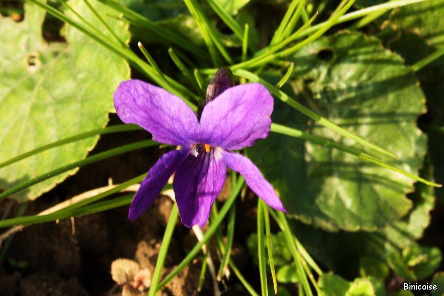 Timide-violette Violette dans Jardin binicaise