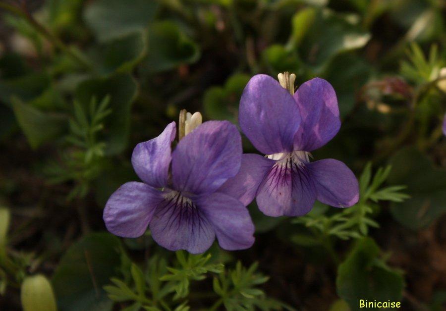 Les timides... dans Fleurs et plantes Violette-2