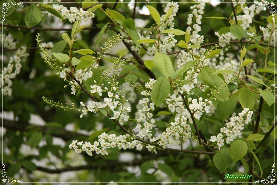 Branches fleuries. dans Bretagne Fleurs-blanches