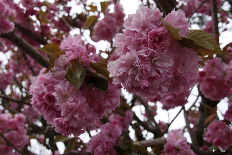 Grappes de fleurs . dans Bretagne IMG_5036_redimensionner