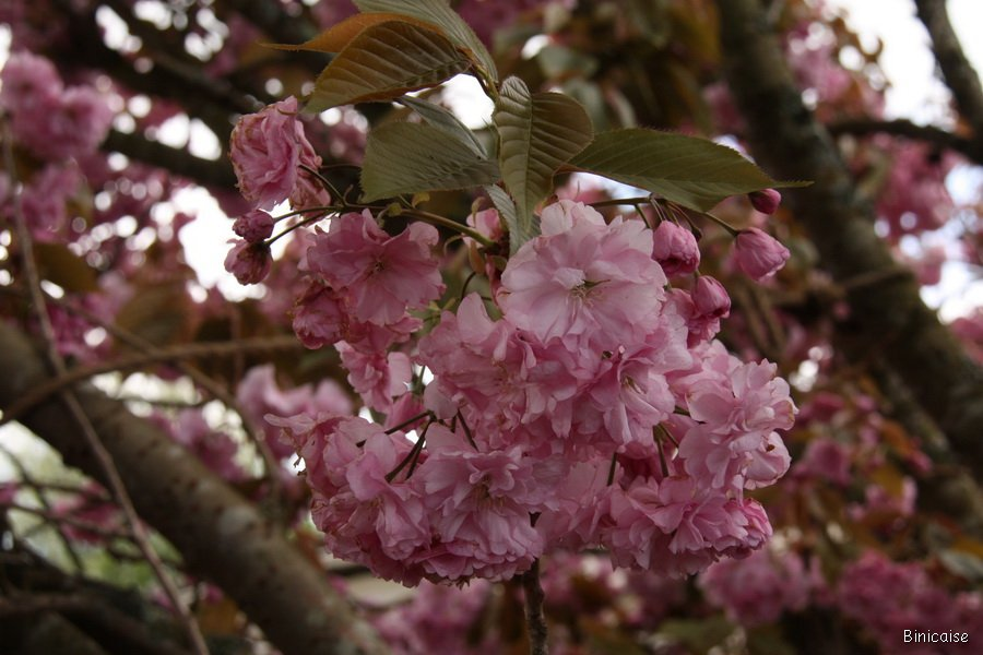 IMG_5039_redimensionner Fleurs roses dans Fleurs et plantes