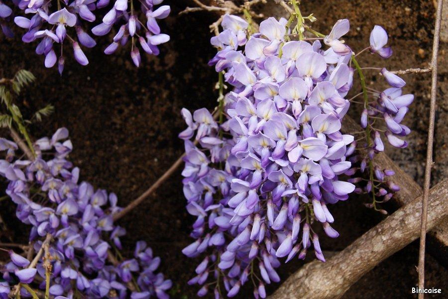 IMG_5052_redimensionner Glycine dans Fleurs et plantes