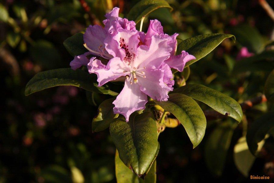 Rhododendron premières fleurs . dans Jardin binicaise IMG_5070_redimensionner