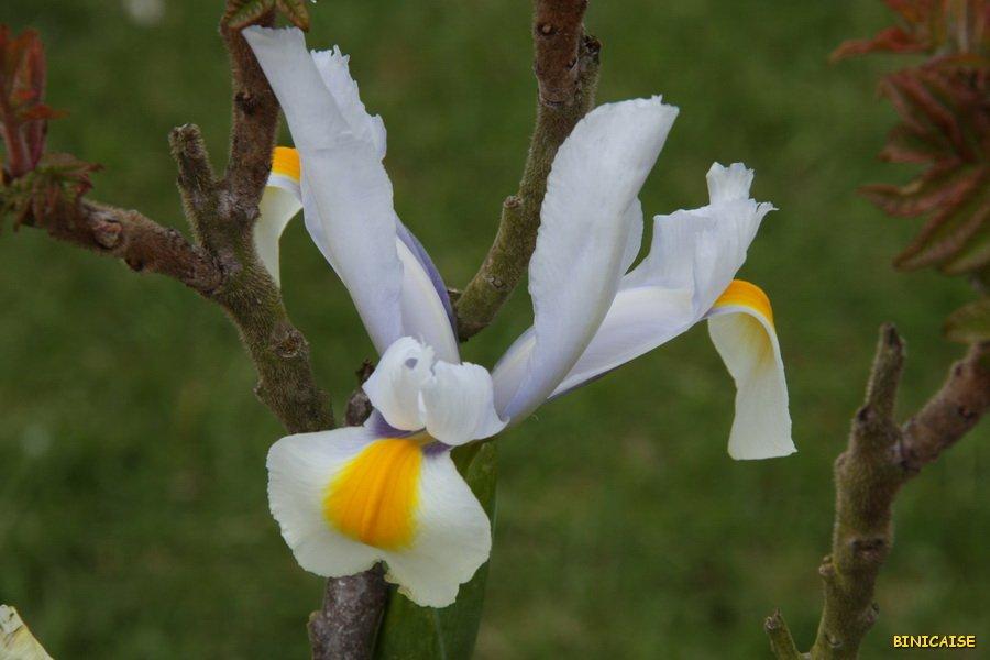 L'iris et le sumac .... dans Jardin binicaise IMG_5103_redimensionner