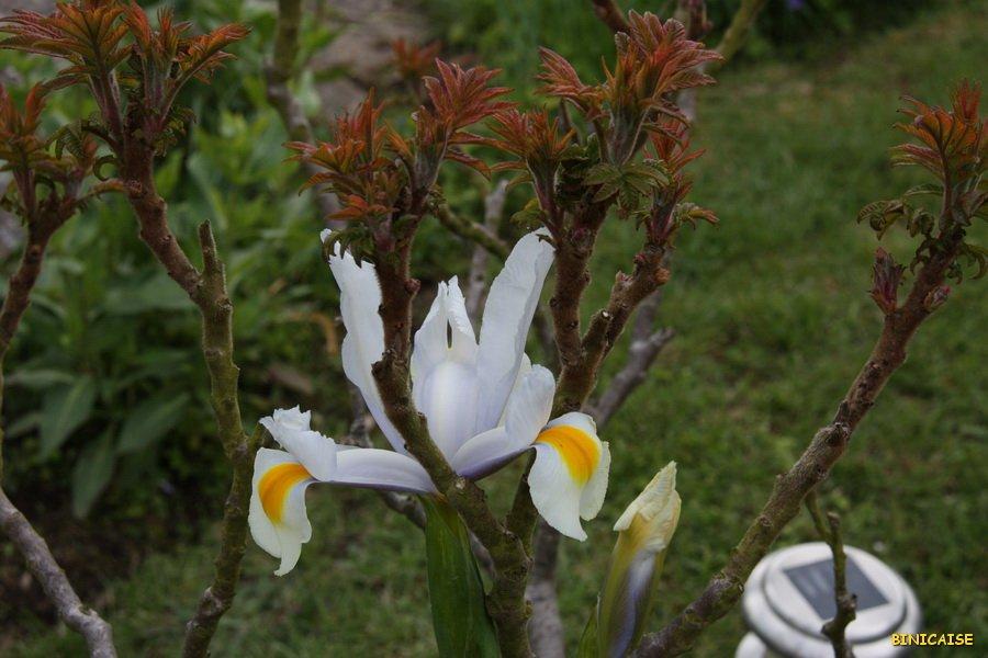IMG_5105_redimensionner Iris dans Photos