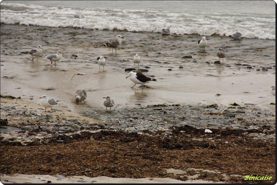 Oiseaux de mer. dans Bretagne Les-oiseaux-de-mer