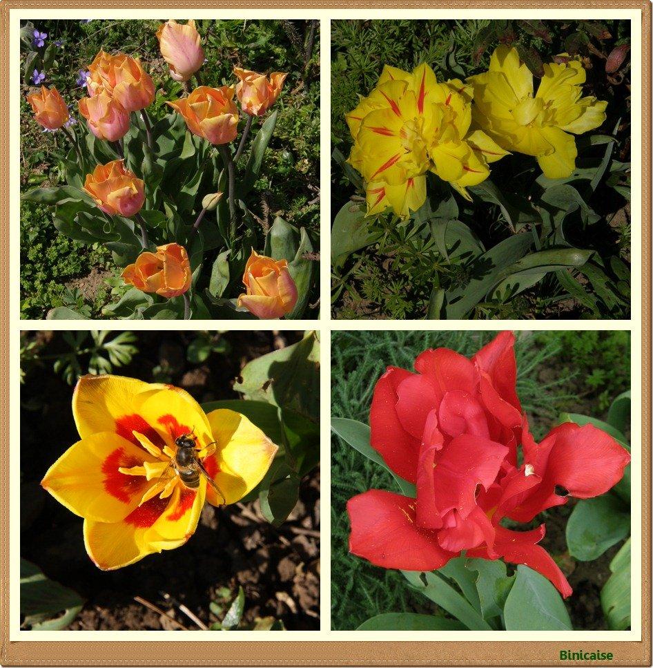 Tulipes dans Fleurs et plantes Tulipes