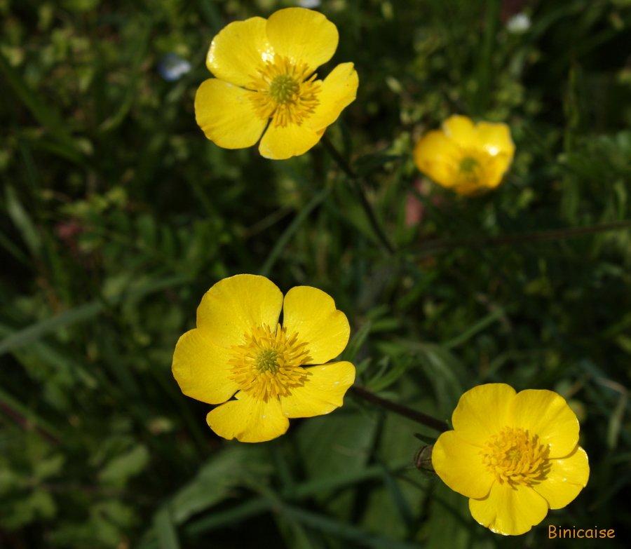 Fleurs des champs . dans Fleurs et plantes Bouton-dor-01