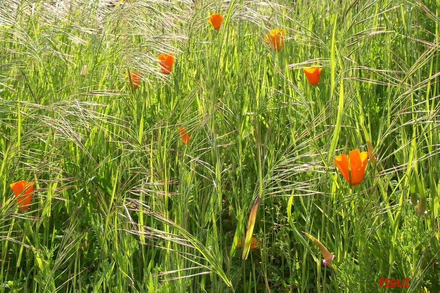 Pavots de Californie. dans Fleurs et plantes Champs-de-coquelicots