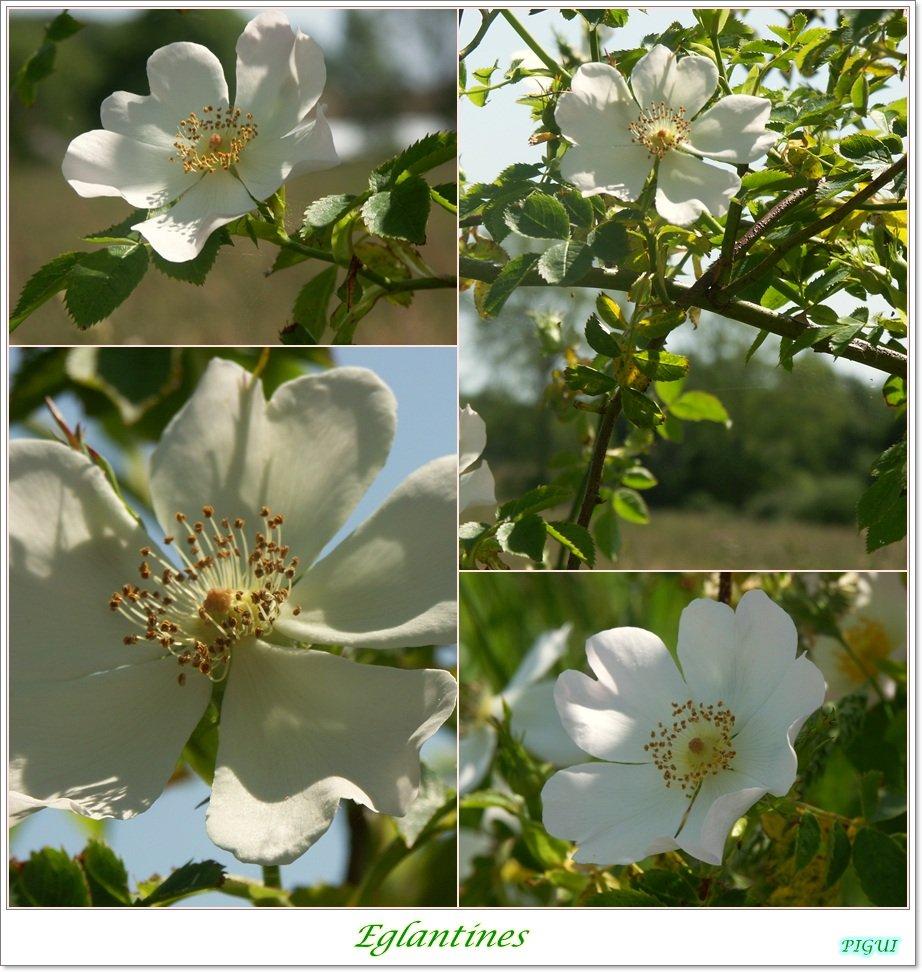 Eglantines dans Fleurs et plantes Eglantines-PIGUI