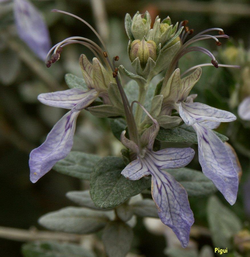 Fleurs bleues . dans Fleurs et plantes Fleur-Pigui