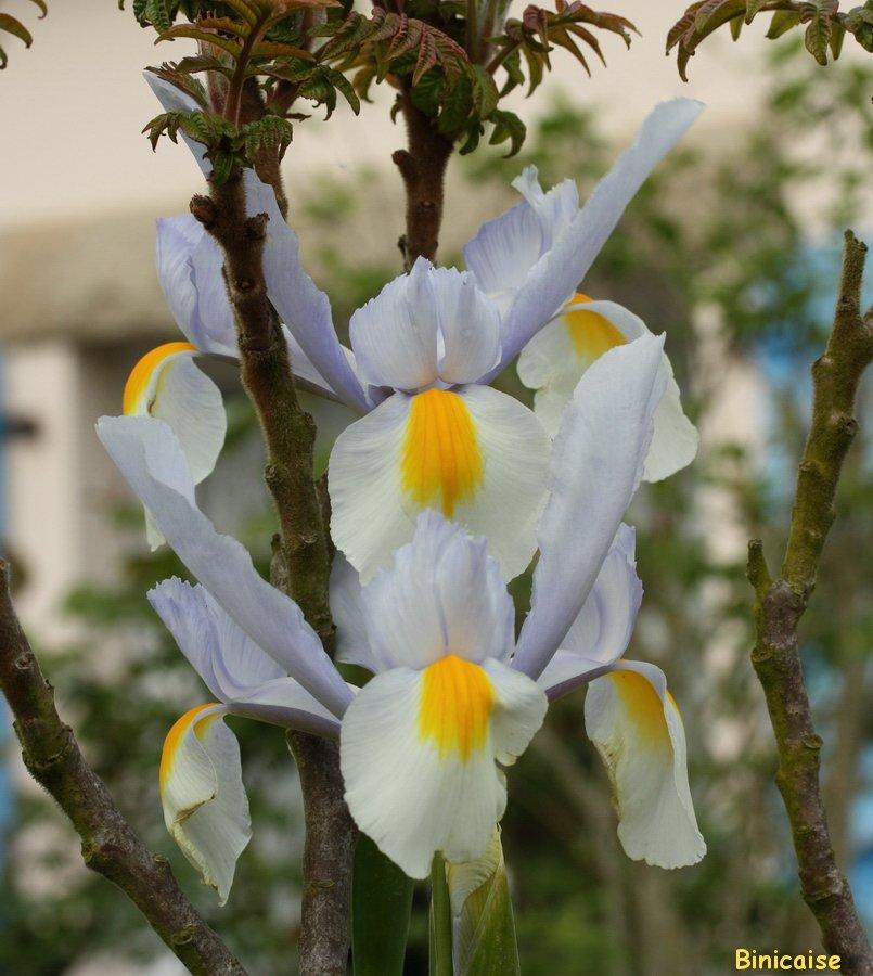 Les iris jumeaux.... dans Jardin binicaise IMG_5206-900