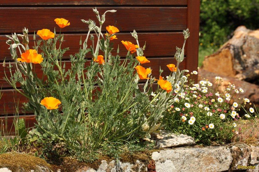 Murs fleuris. dans Bretagne IMG_5396_redimensionner