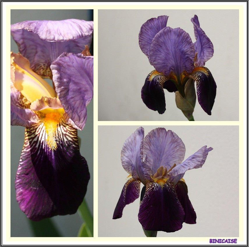 L'iris. dans Jardin binicaise Iris-01