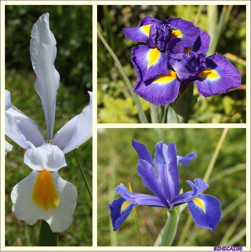 Iris bulbeux. dans Jardin binicaise Iris-bulbeux