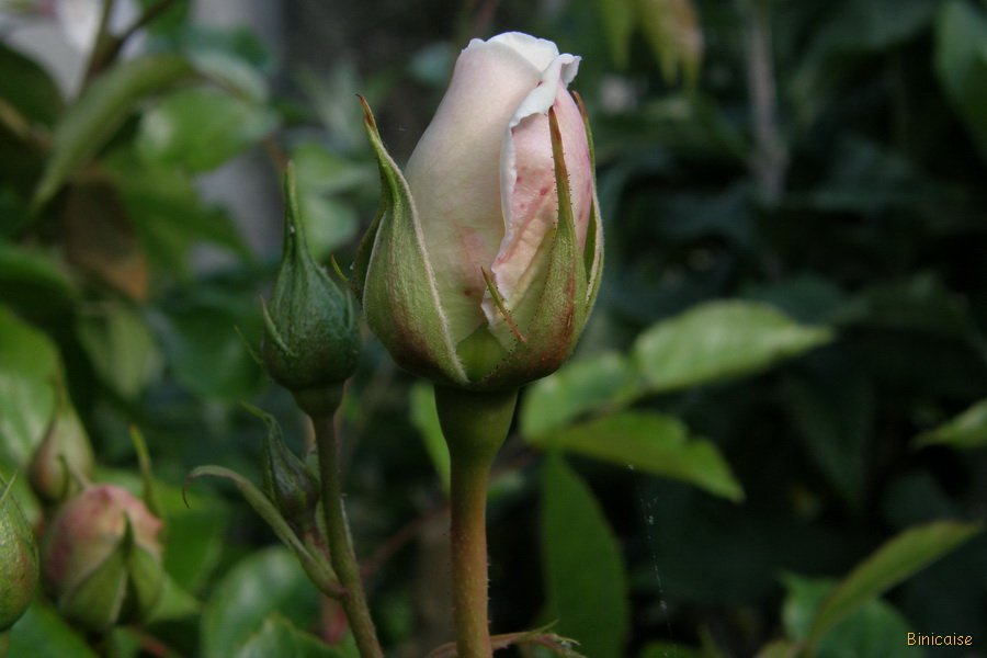 Boutons de rose. dans Jardin binicaise P5120140_redimensionner