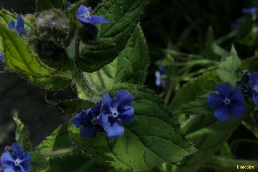 Plus bleu que bleu.... dans Fleurs et plantes P5126849_redimensionner
