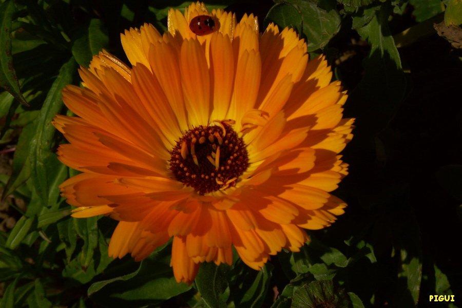 La coccinelle et le souci. dans Jardin binicaise PICT6526_redimensionner