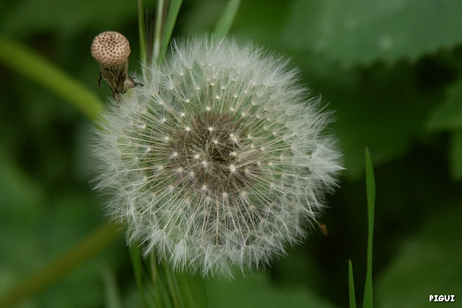 Graines de pissenlit... dans Fleurs et plantes PICT6701_redimensionner