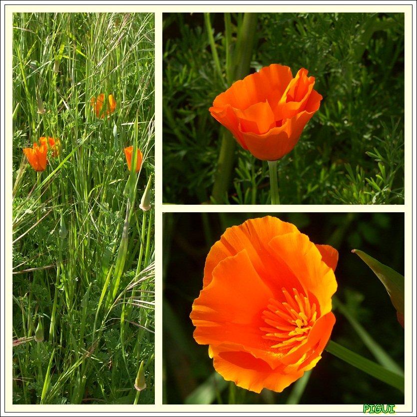 Pavots de Californie, Eschscholtzia. dans Fleurs et plantes Pavots-pigui2