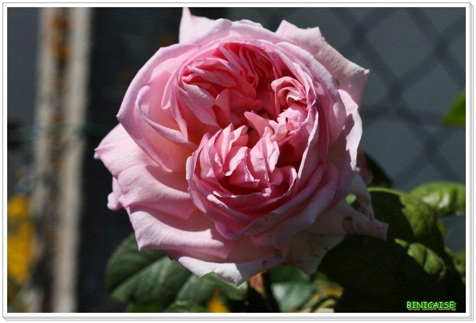 Un parfum de rose .... dans Jardin binicaise Rose-anglaise
