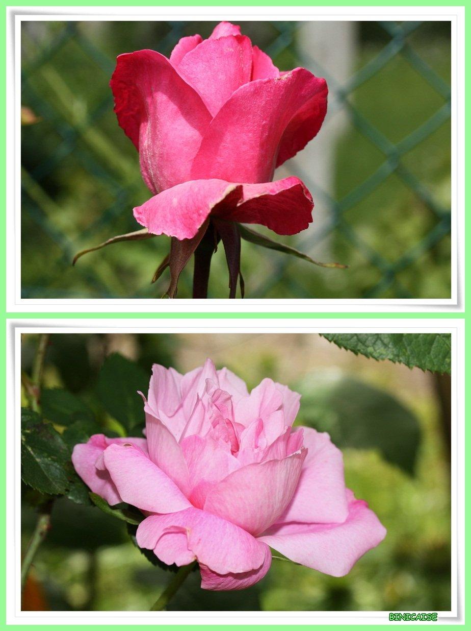 Mes roses. dans Jardin binicaise Roses