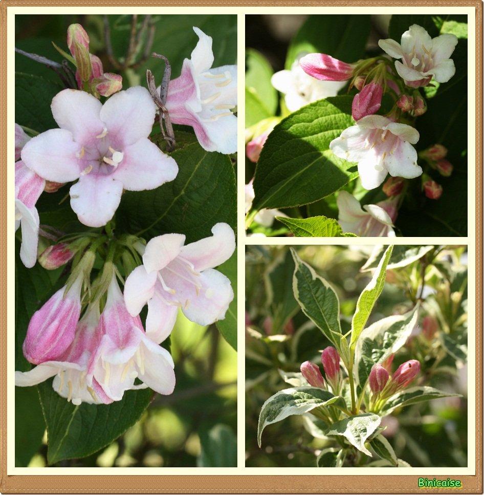 Weigélia rose. dans Jardin binicaise Weigelia