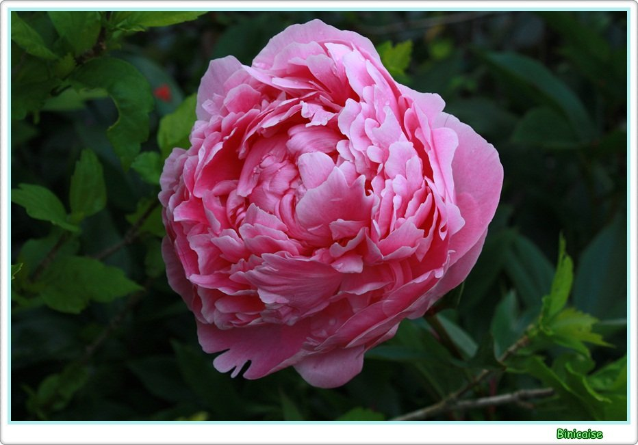 Mes pivoines. dans Jardin binicaise Pivoine-rose