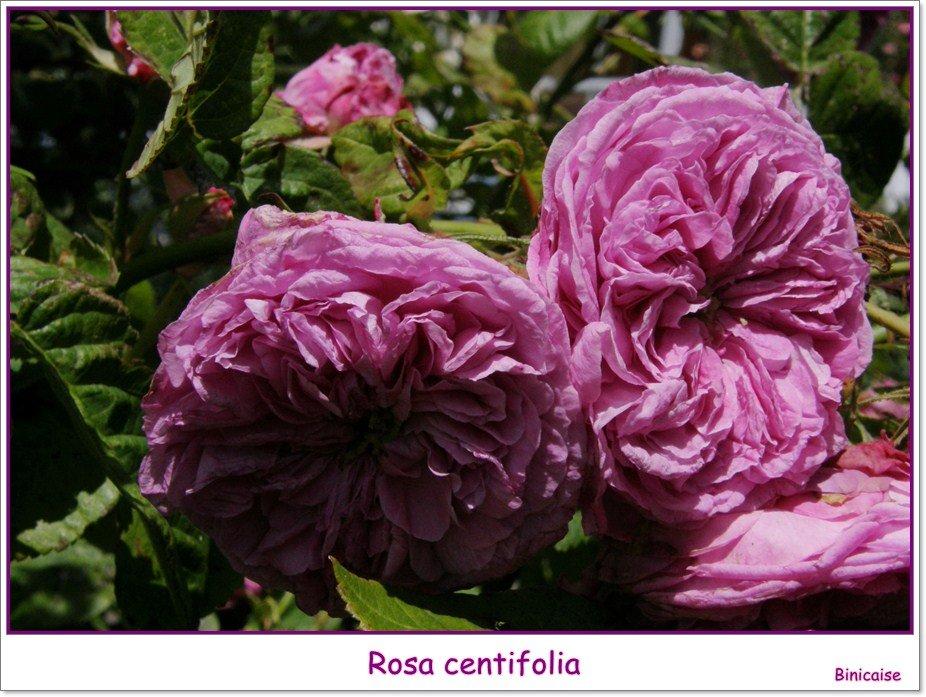 Rose ancienne. dans Jardin binicaise Rosa-centifolia