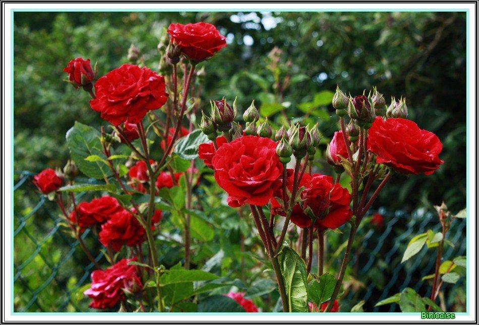 Les roses rouges. dans Jardin binicaise Roses-rouges