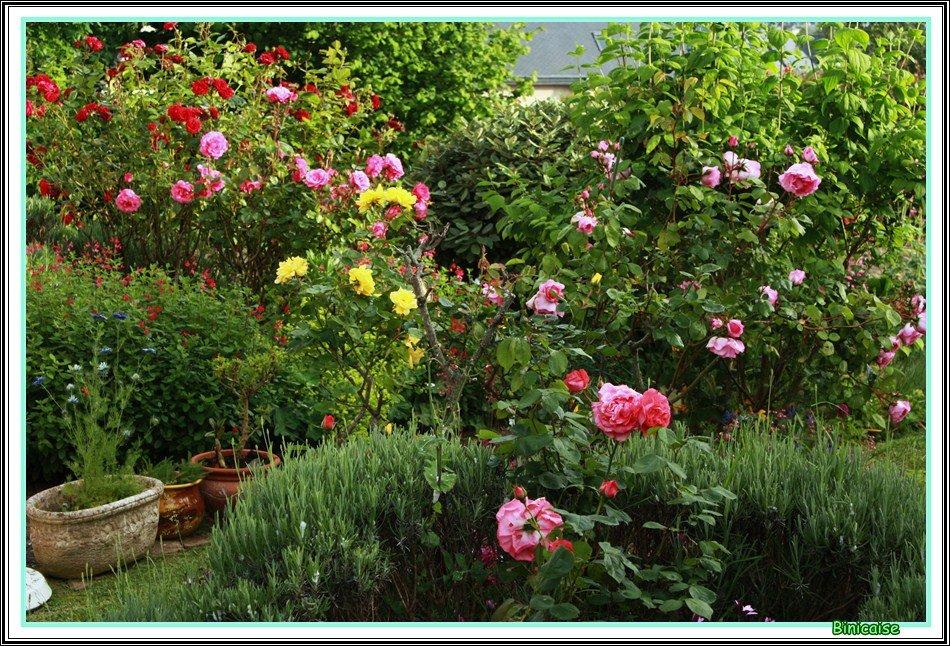 Rosiers en Juin . dans Jardin binicaise Rosiers-en-juin-01