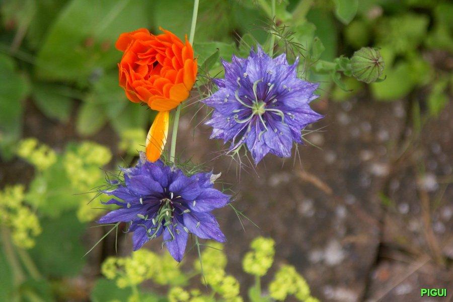 Fleurs du jardin par Pigui. dans Jardin binicaise Fleurs-du-jardin-par-Pigui-01