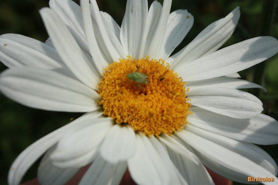 La marguerite et la punaise. dans Jardin binicaise IMG_6026_redimensionner