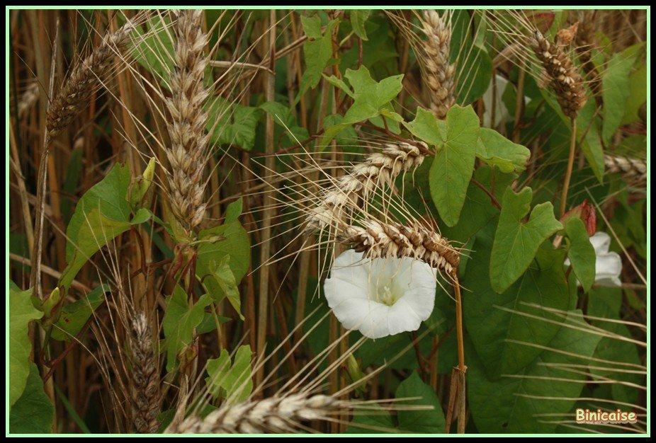 Le liseron dans Fleurs et plantes Le-liseron