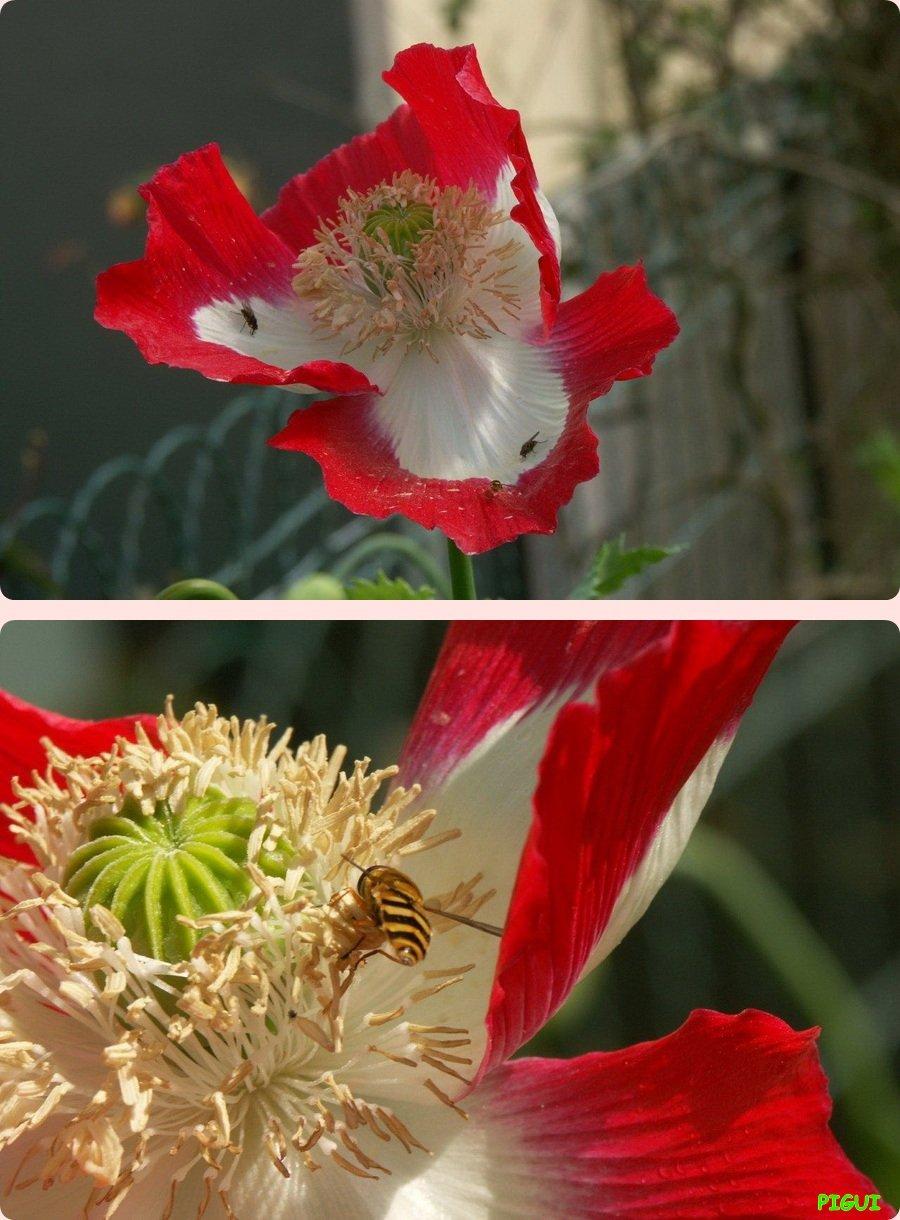 Pavots originaux. dans Fleurs et plantes Pavots-originaux