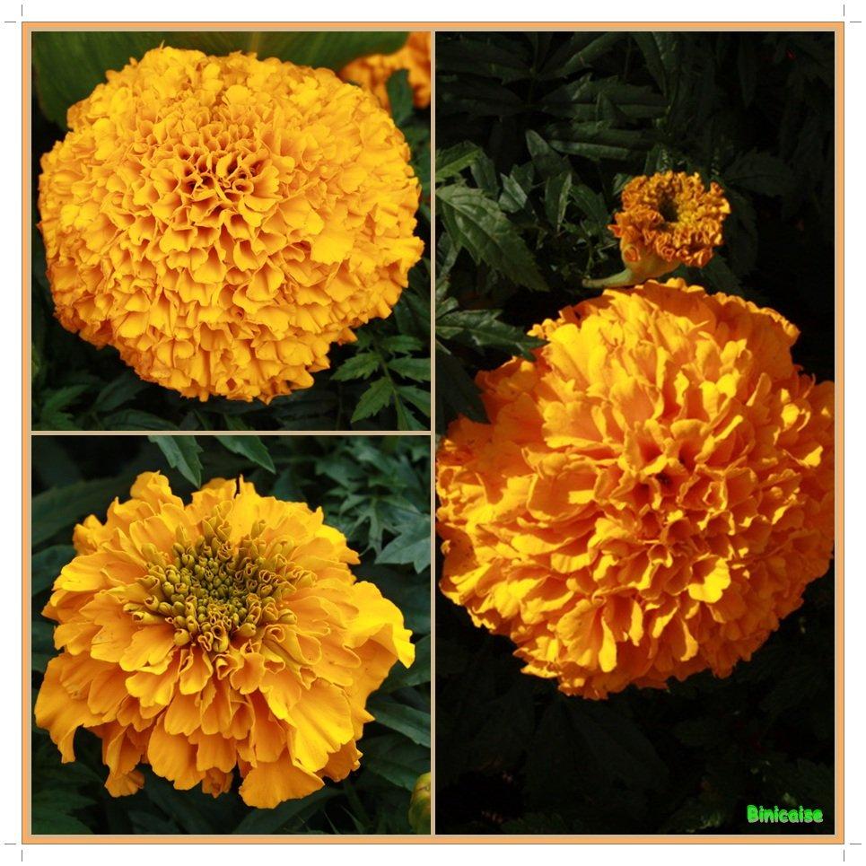 Roses d'Inde. dans Fleurs et plantes Roses-dInde