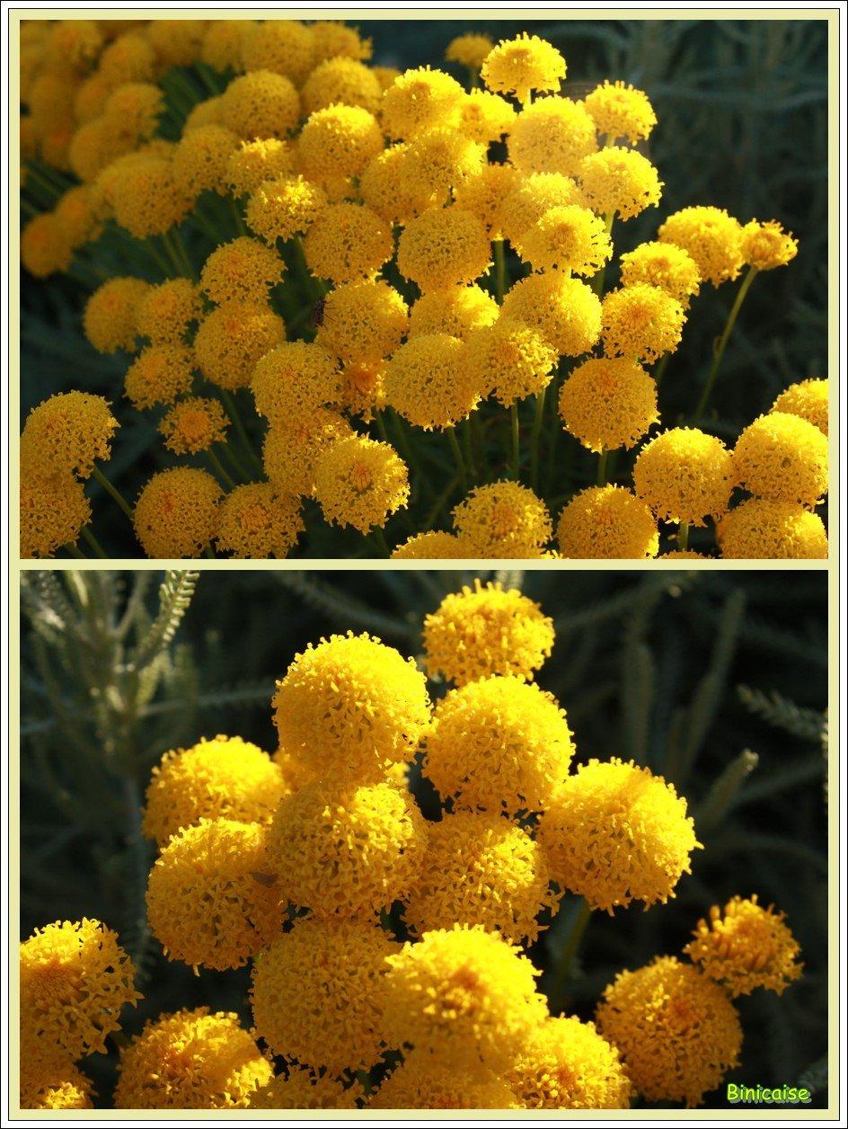 Santolines en fleurs. dans Jardin binicaise Santolines-2