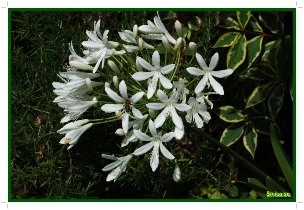 Mon agapanthe. dans Jardin binicaise Agapanthe-blanche