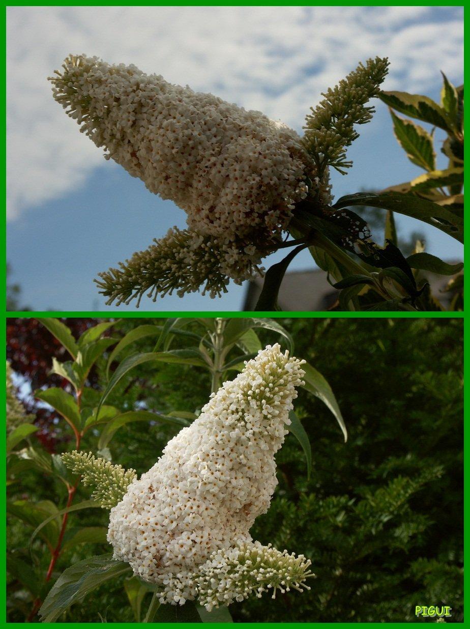 Buddleia blanc. dans Jardin binicaise Buddleia-Blanc