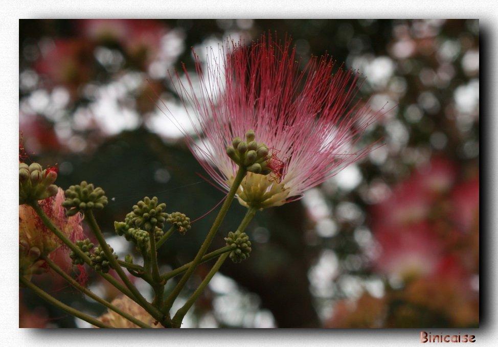 Fleur d'albizia ou arbre à soie. dans Fleurs et plantes Fleur-dalbizia